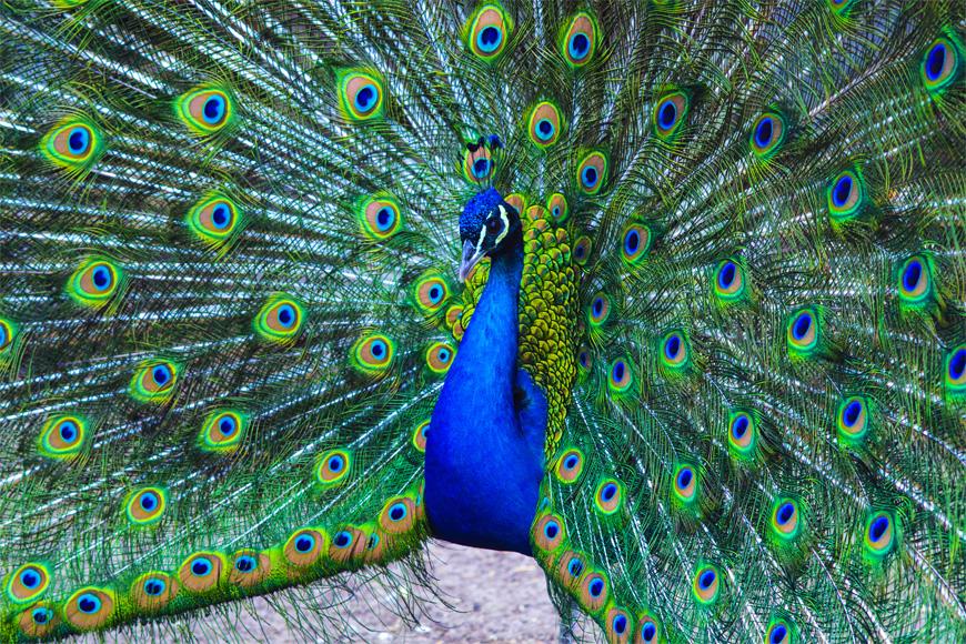 Peacocks in Dubai