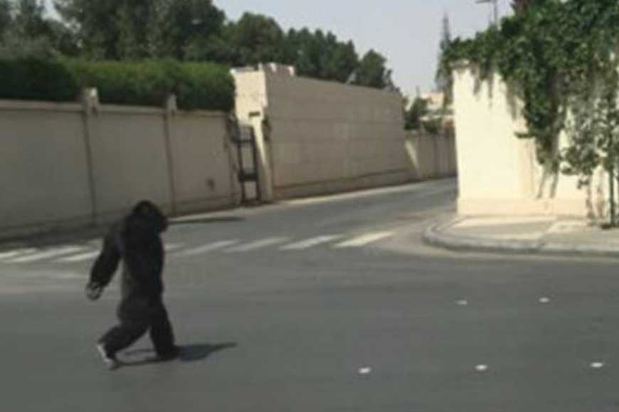 Escaped 'Gorilla' Strolls Through the Streets in Riyadh
