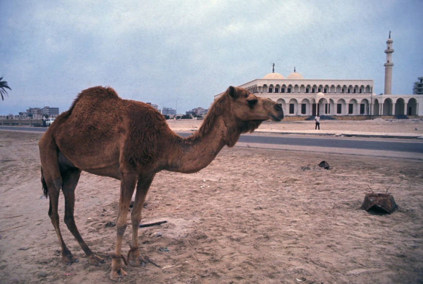 Camels in Abu Dhabi history