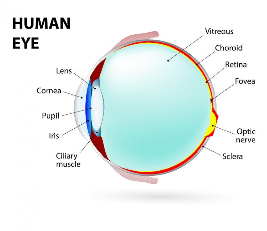 A diagram of the human eye with its different parts and where