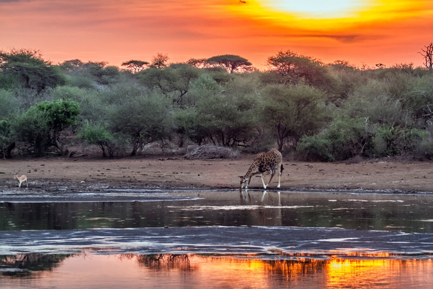 Expat Life in South Africa: The Discoveries I Made: A giraffe drinking water in the Kruger National Park