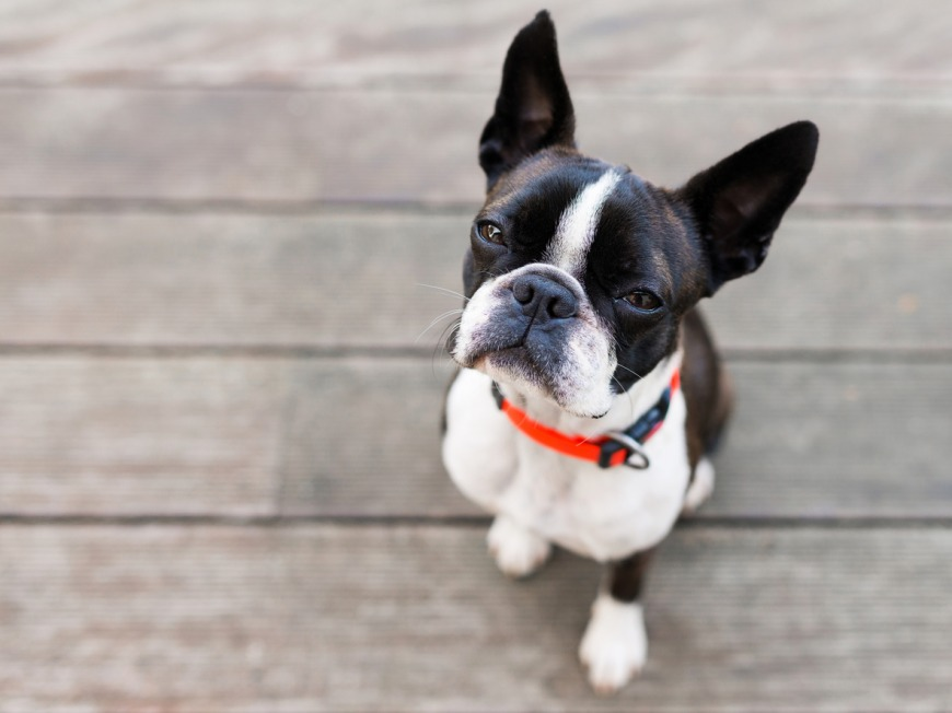 Breeds at high risk of overheating