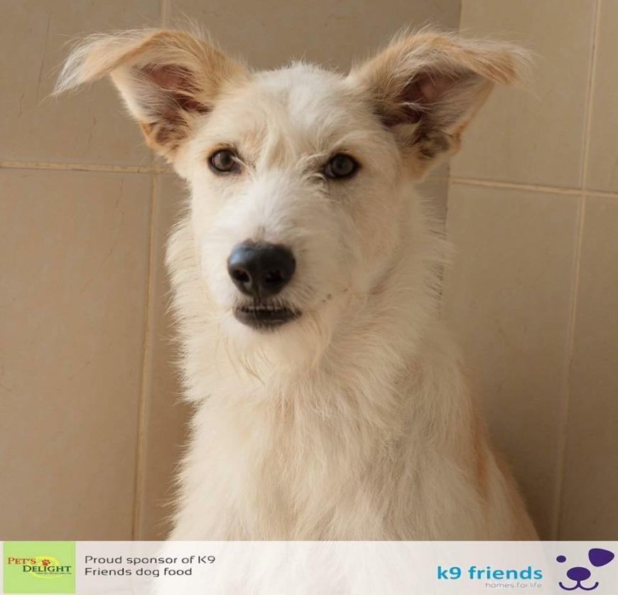 Adopt a Dog in Dubai - Scruffy at K9 Friends