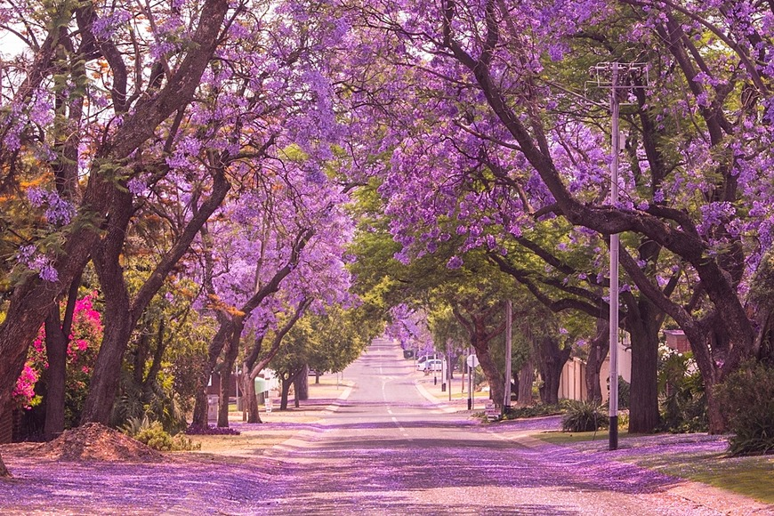 Expat Life in South Africa: The Discoveries I Made: Jacarandas in full bloom in Pretoria
