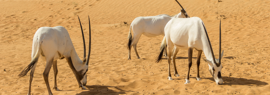 Wildlife in Saudi Arabia: Rules on Hunting, Fishing and Gathering