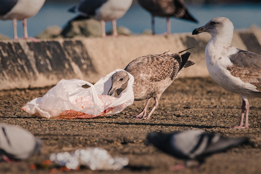 Hungry gull trapped in plastic while scavenging for food