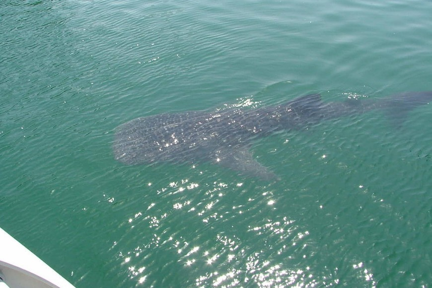 Whale shark sightings in Dubai