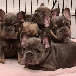 Healthy Male And Female French Bulldog puppies