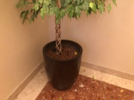 Very tall twisted stem ficus in premium container - indoor