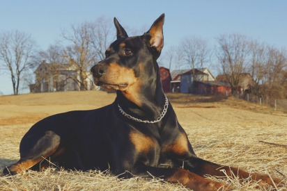 Dog Breeds Currently Banned in Dubai
