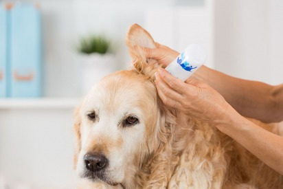 A Guide to Healing Your Dog's Ear Infection