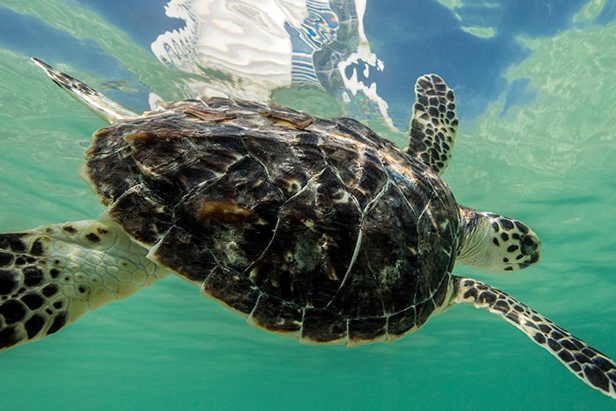 Turtle rehabilitation project at Burj Al Arab in Dubai